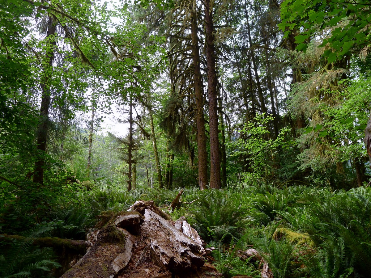 Dense forest of the Hoh River Trail Hike in Olympic National Park