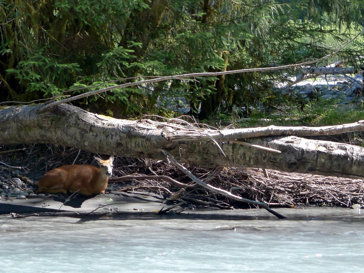 A deer hanging out on Mile Island on the Hoh River Trail Hike in Olympic National Park
