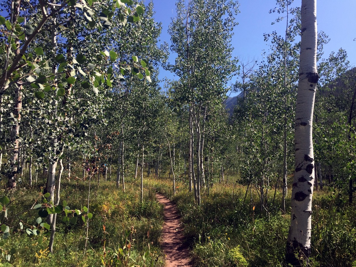 Aspen grove on the Pitkin Lake Trail Hike near Vail, Colorado