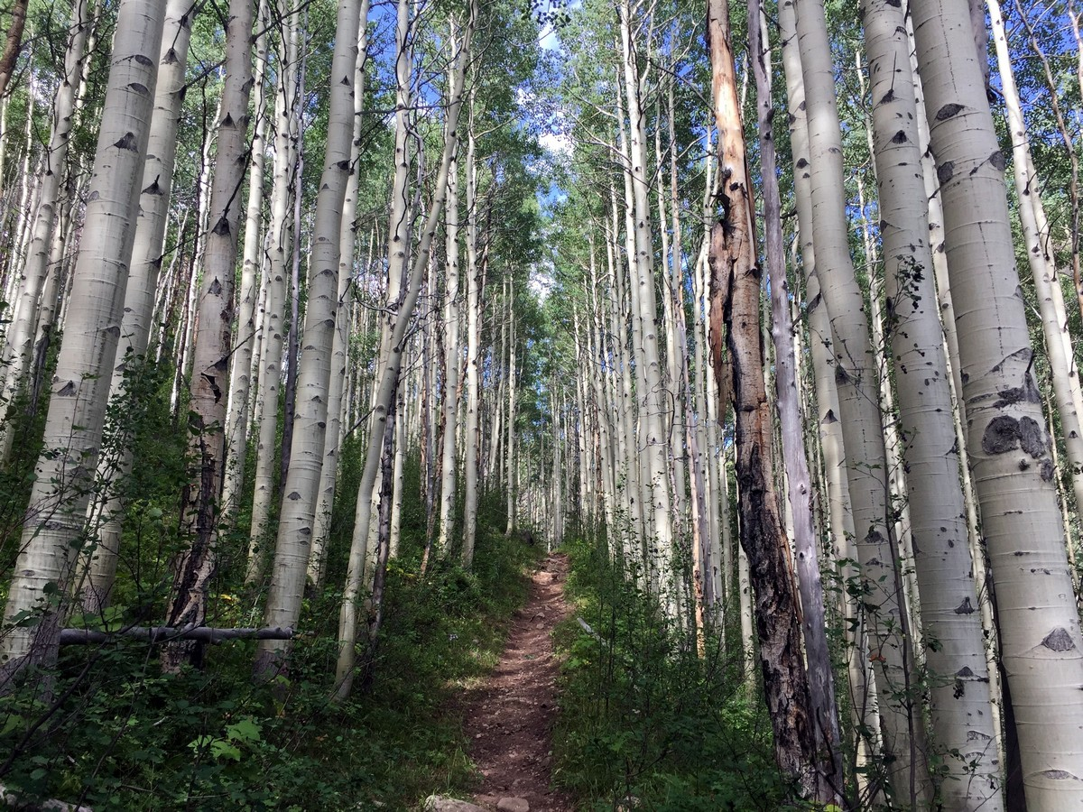 Beautiful Aspens along the Bighorn Creek trail in Vail, Colorado