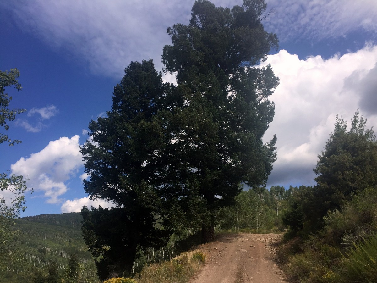 Large trees along the Davos Trail Hike near Vail, Colorado