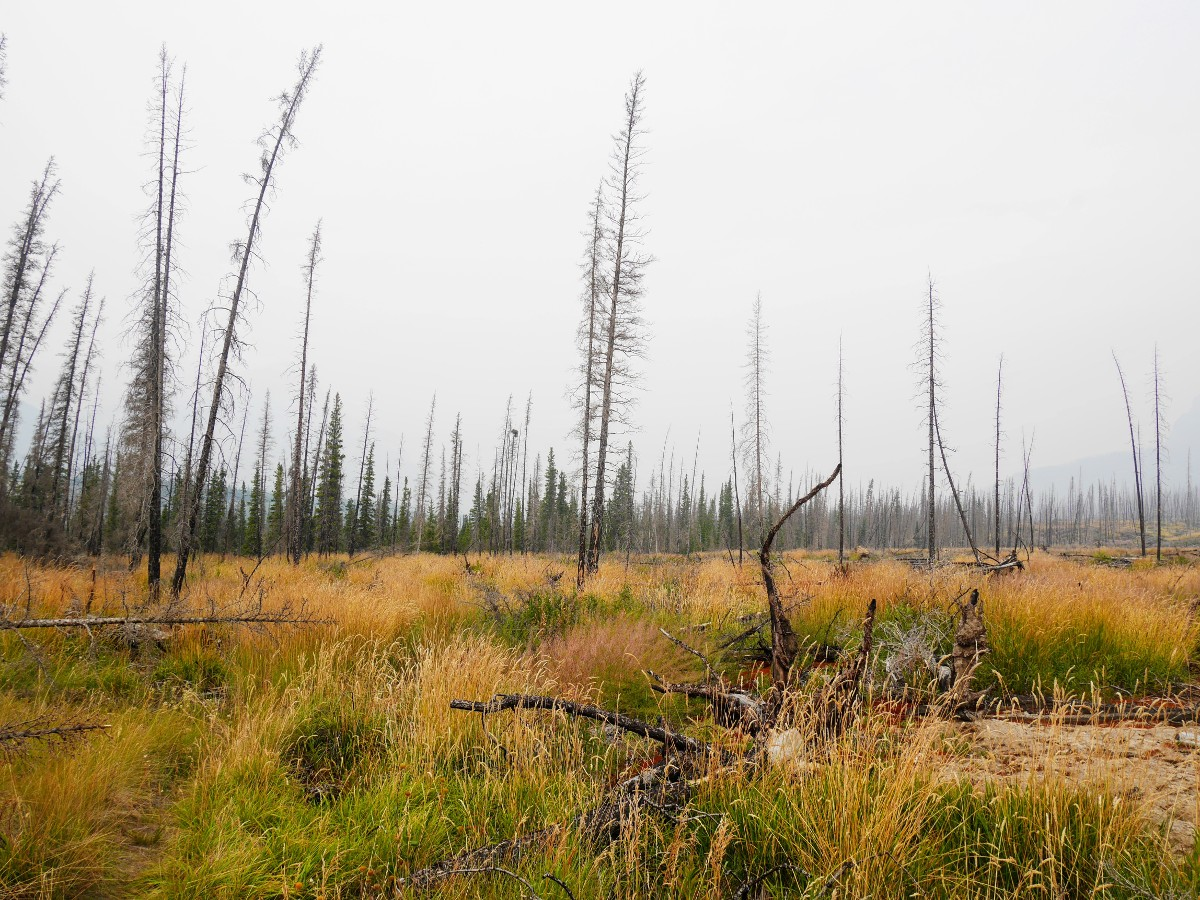 Grass and burnt lodgepole pines on the Warden Lake Hike from the Icefields Parkway near Banff National Park