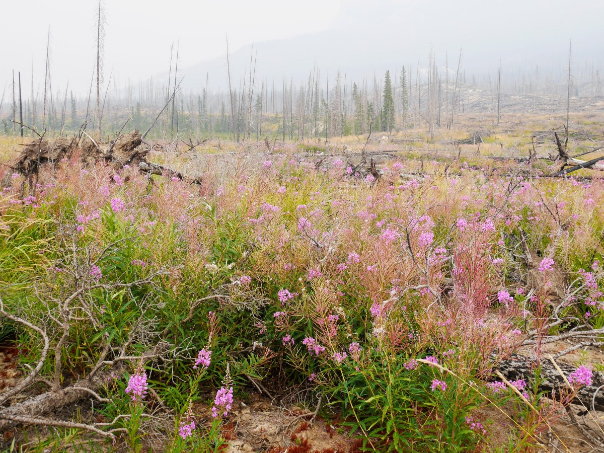 Fireweed on the Warden Lake Hike from the Icefields Parkway near Banff National Park