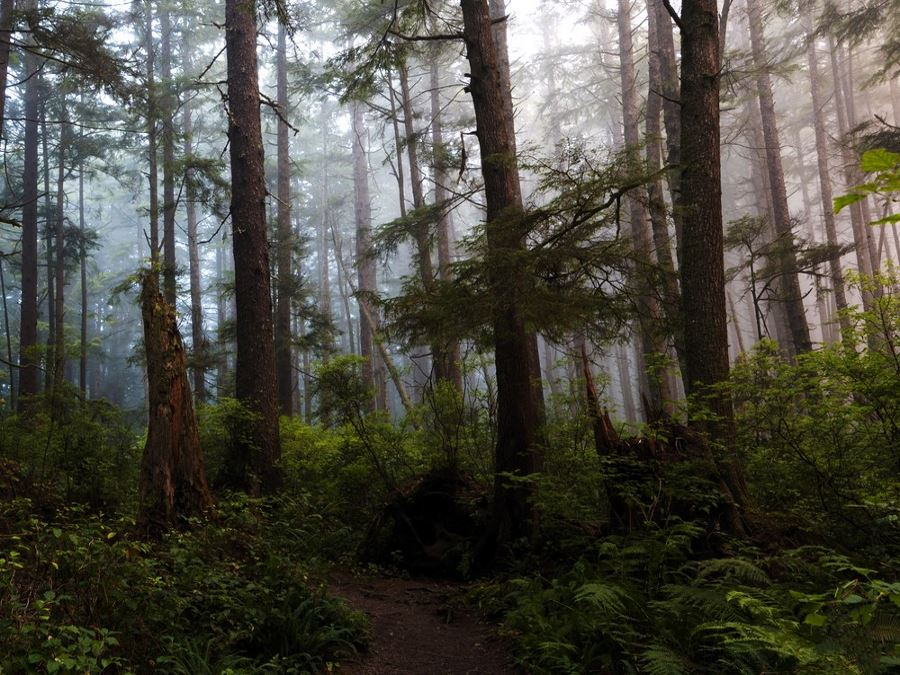 Forest at Olympic peninsula