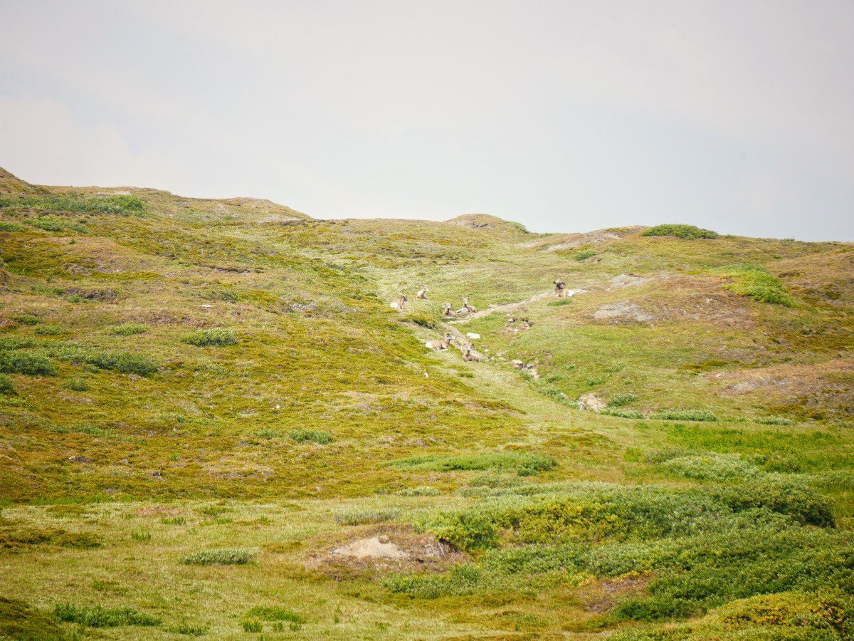 Bighorn sheep relaxing in the meadow on the Wilcox Pass Hike from the Icefields Parkway near Banff National Park