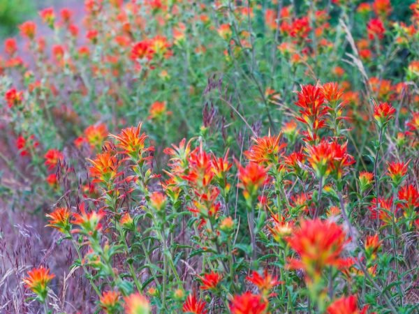 Red wildflowers on the Pacific Crest Trail