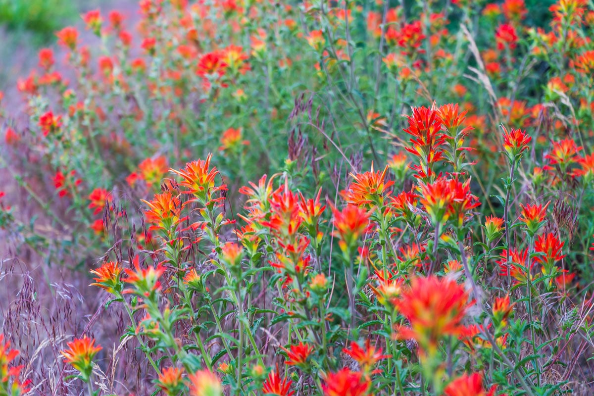 Wild red flowers