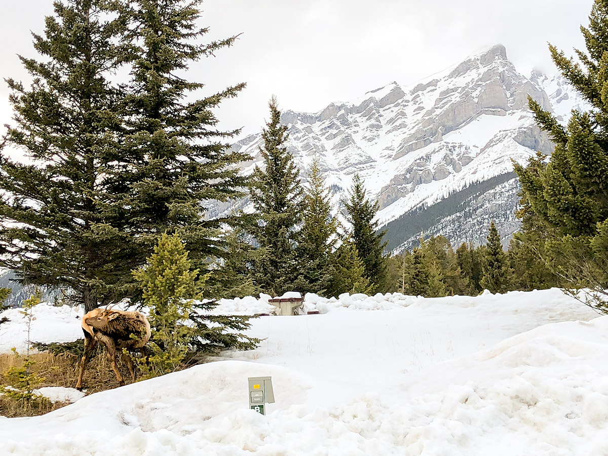 Wildlife near the parking lot of Tunnel Mountain XC ski trail in Banff, Alberta