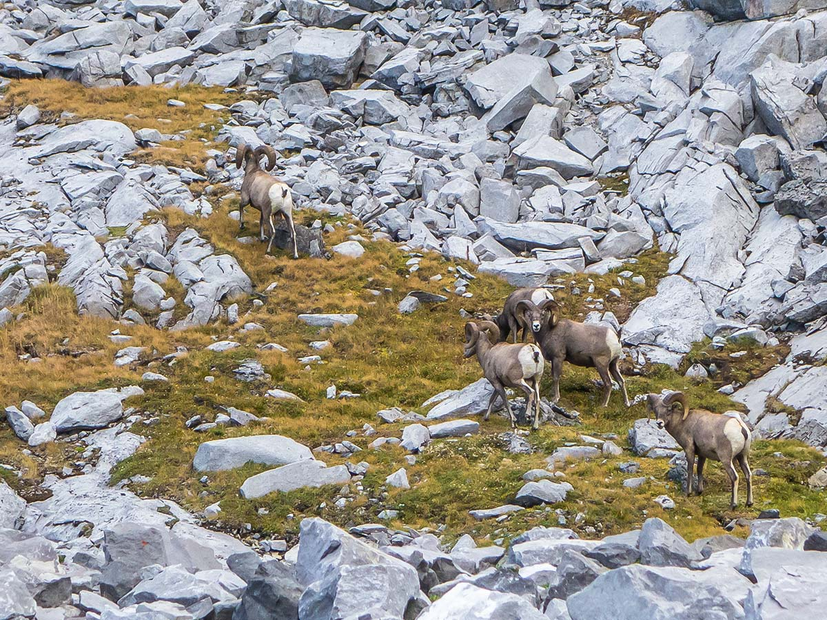 Bighorn sheep herd on The Fortress scramble in Kananaskis near Canmore, the Canadian Rockies