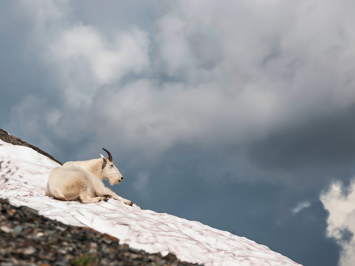 A mountain goat on Snow Peak scramble in Kananaskis near Canmore, the Canadian Rockies