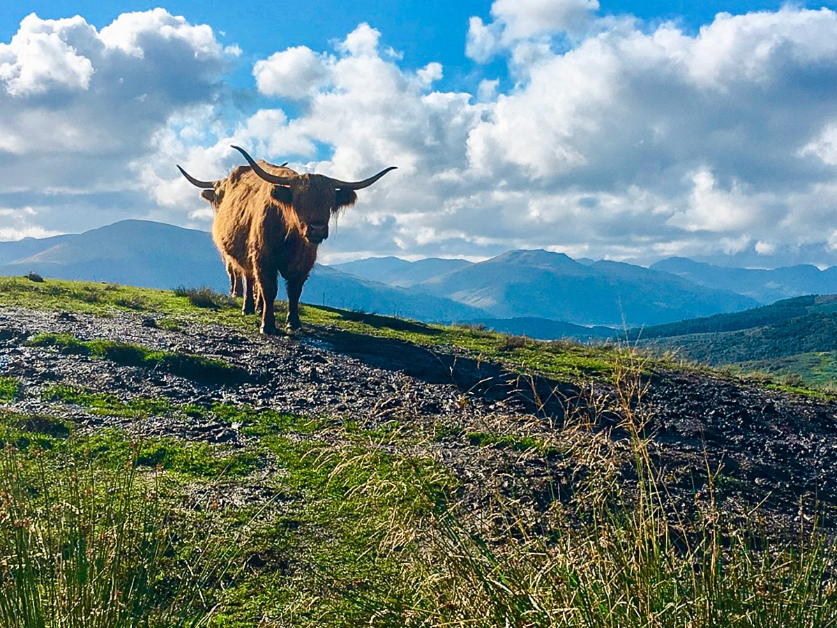 Callander Crags walk in Loch Lomond and The Trossachs region is often surrounded by highland cows