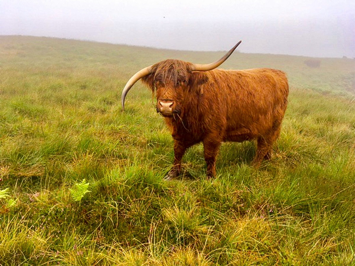 Soggy highland cow on Callander Crags hike in Loch Lomond and The Trossachs region in Scotland