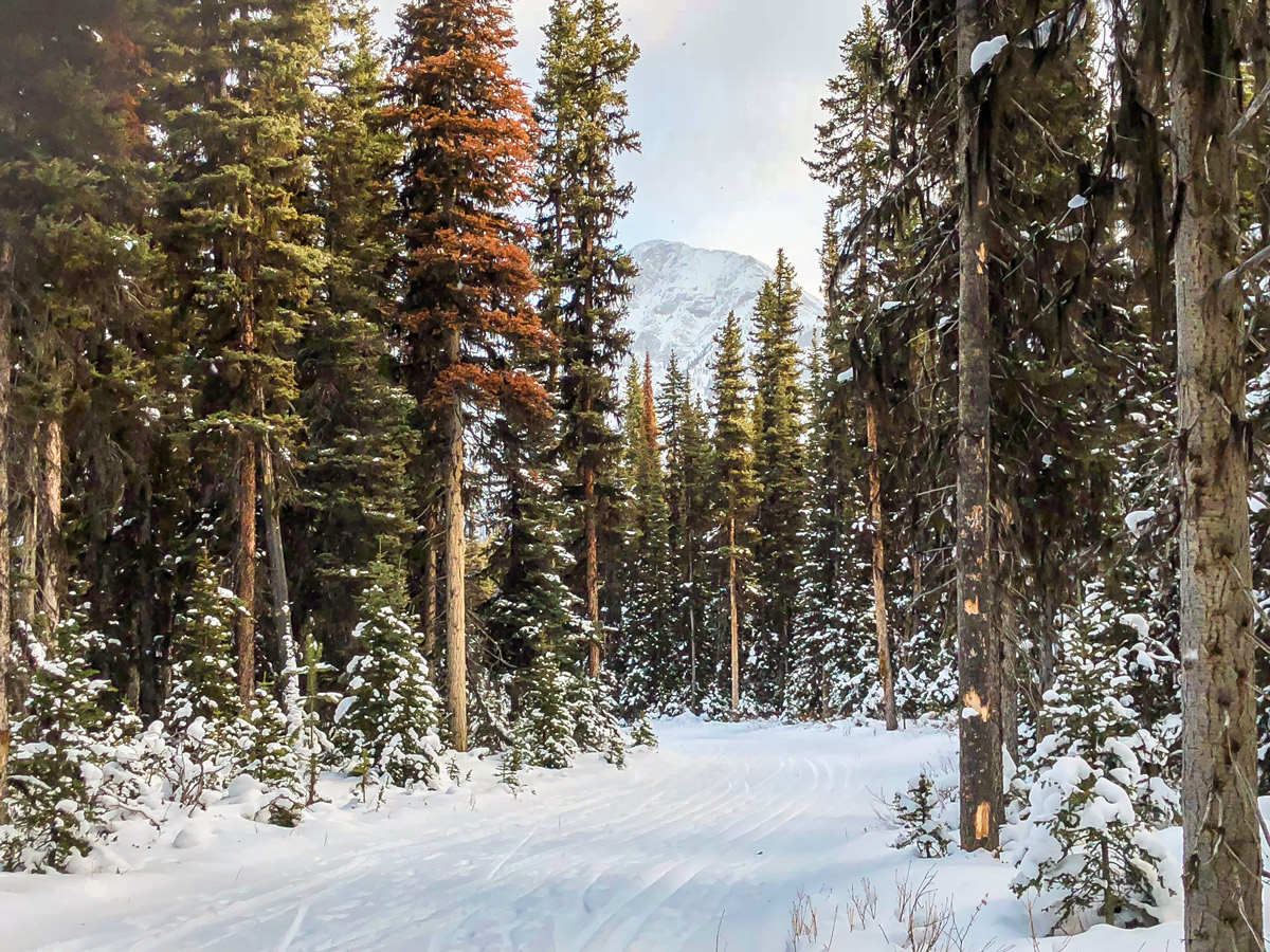 Path through trees on Mt Shark XC ski trail near Kananaskis and Canmore in the Canadian Rockies