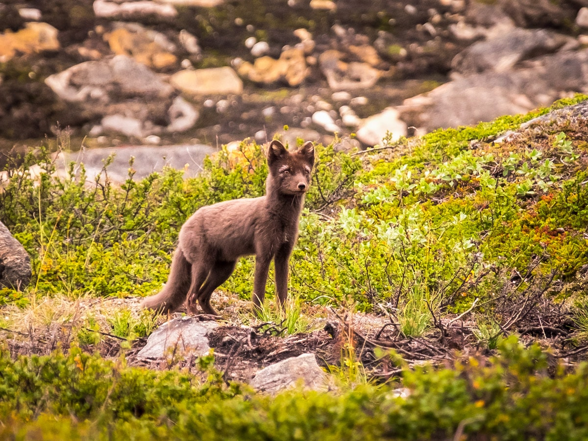 Arctic fox on Arctic Circle Trail hike