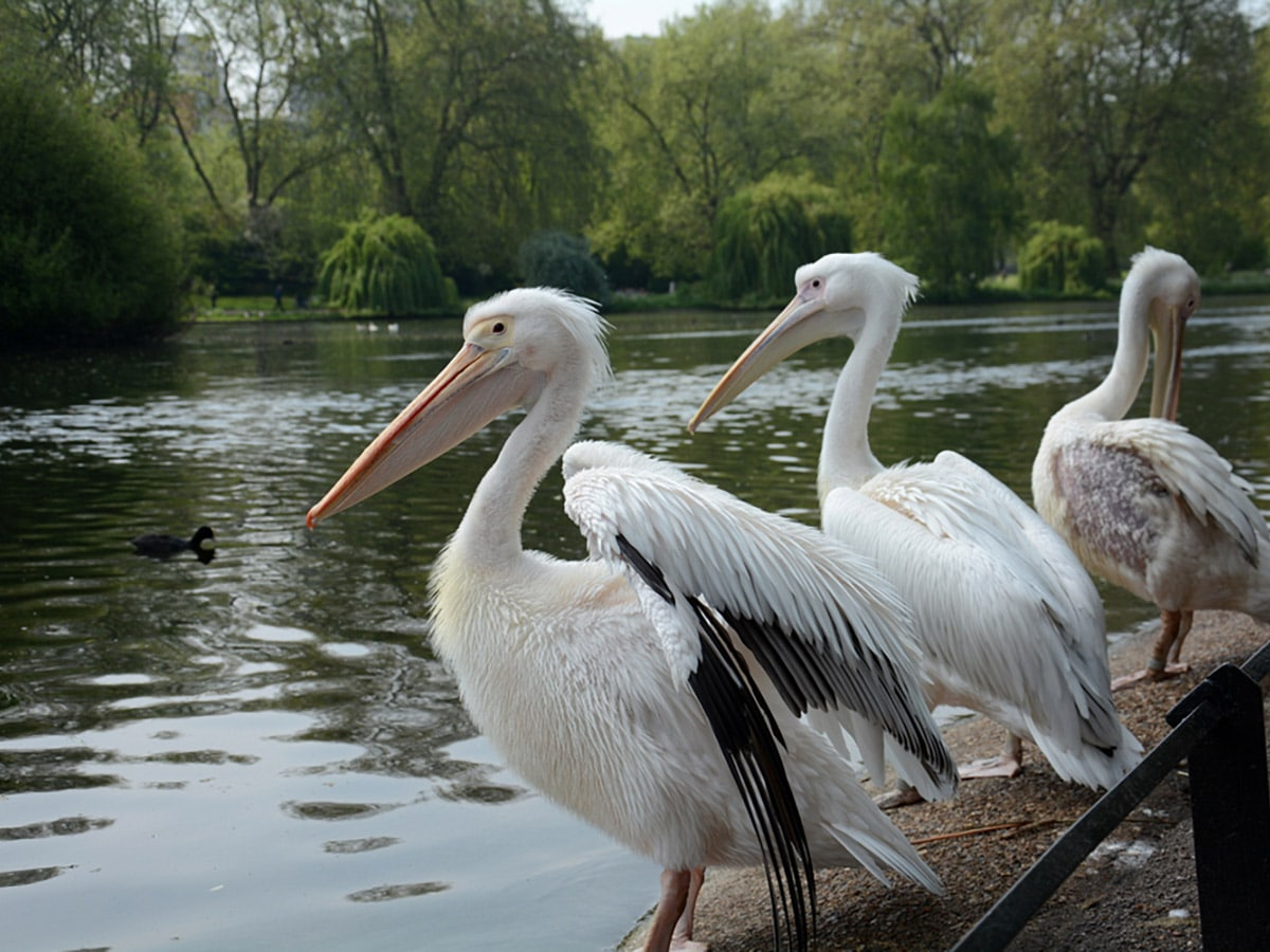 White Pelicans at St James's Park on St. James, Green, Hyde and Kensington parks walking tour in London, England