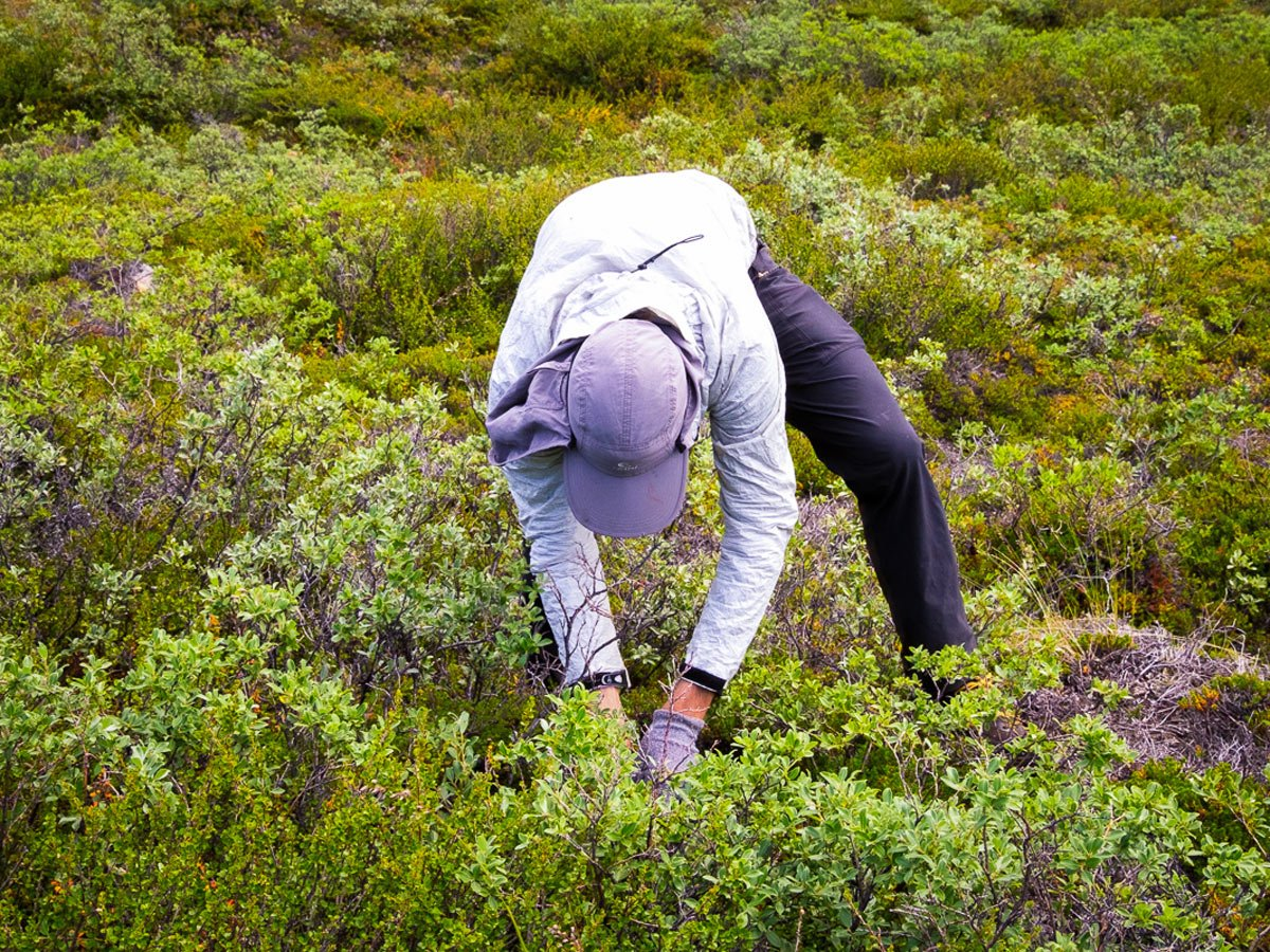 Foraging for wild blueberries on Arctic Circle Trail in West Greenland