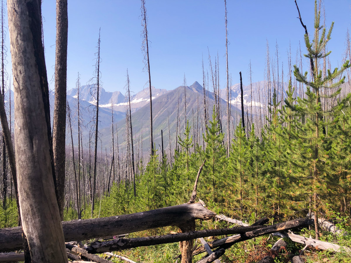 Fire burned forest on Ball Pass hike in Kootenay National Park, British Columbia