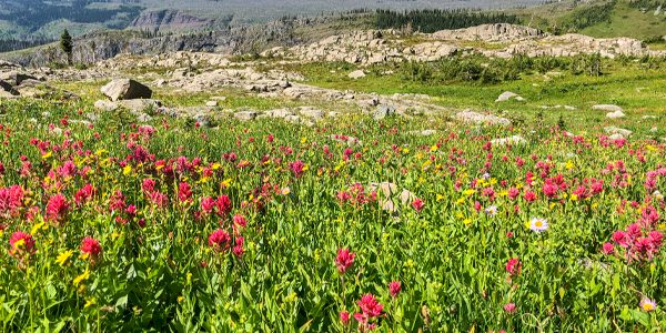Wildflowers along the trail in Glacier National Park, Montana, USA