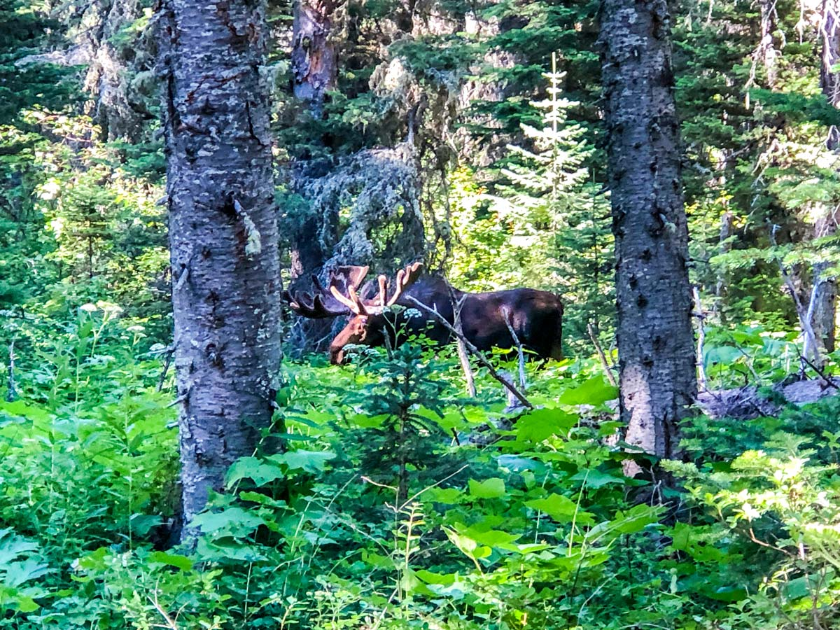 A moose by Mokowanis Junction on North Circle Backpacking Trail in Glacier National Park