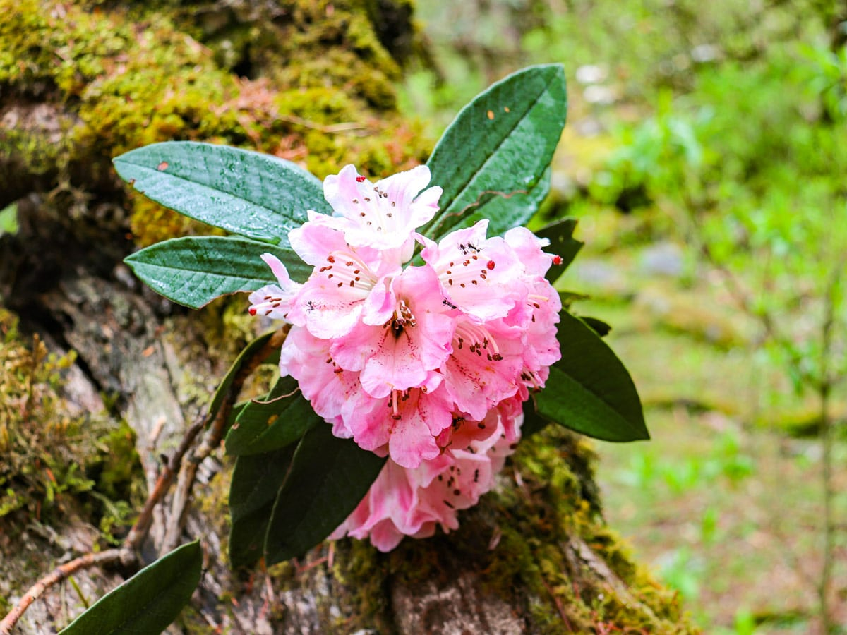 In April the Rhododendron flowers are in full bloom
