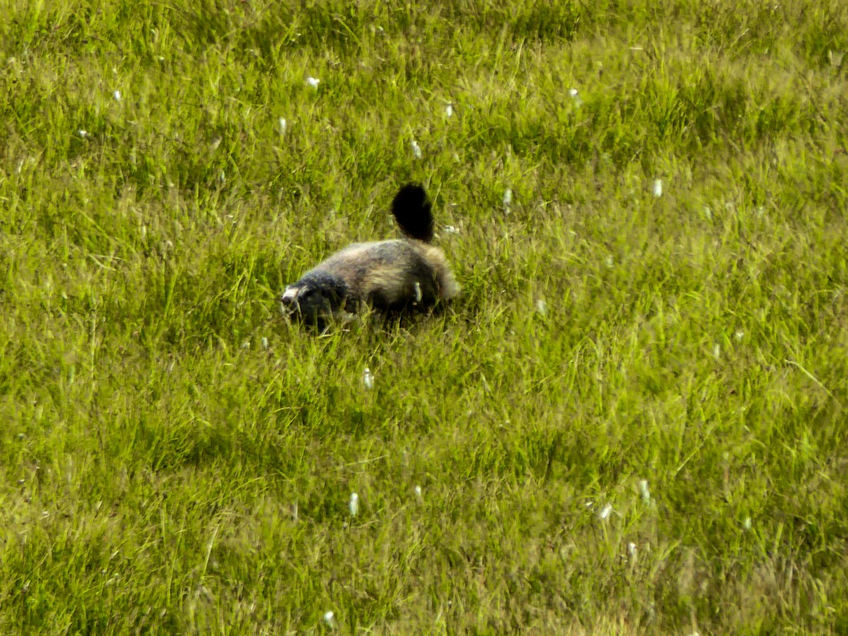 Marmoth playing in meadow along the Lago di Loie route in Gran Paradiso