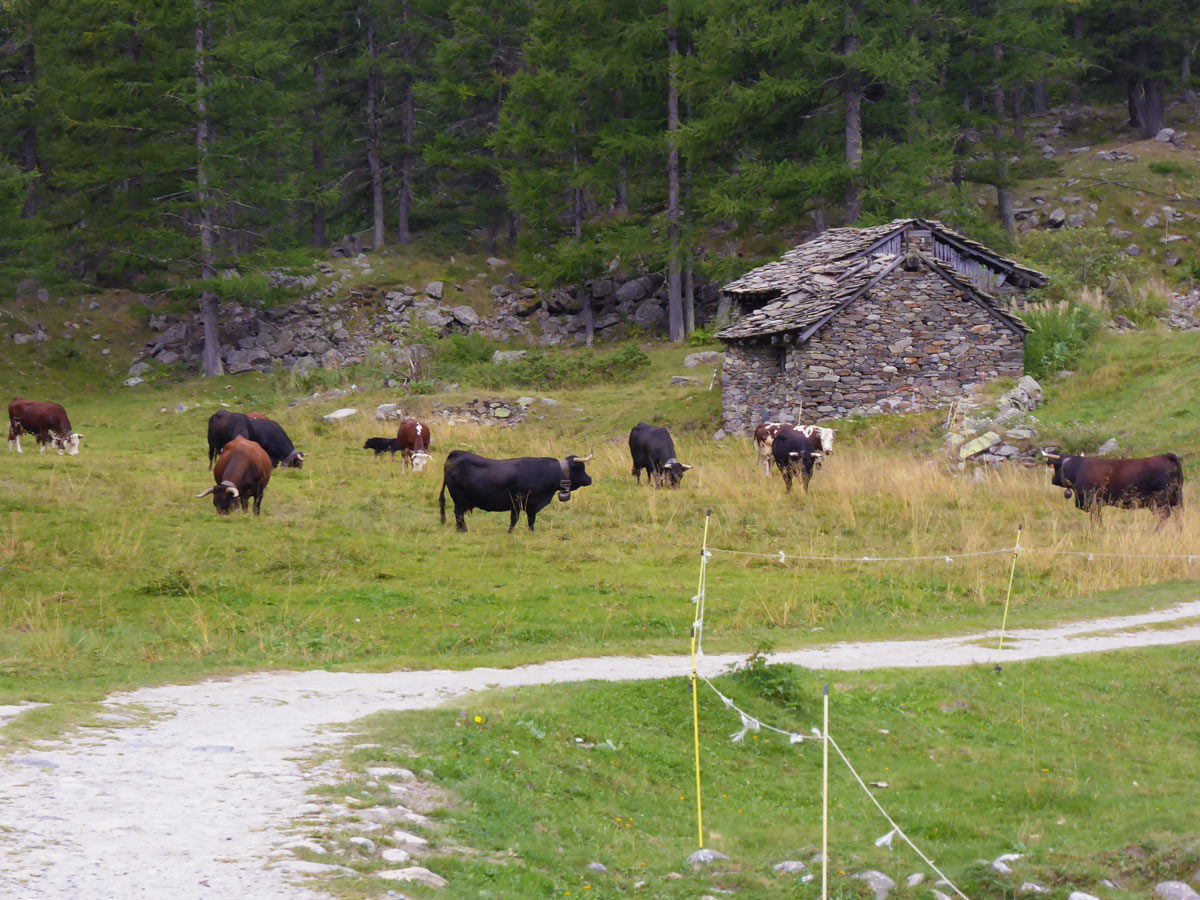 Herd of cows on Valnontey River hike in Gran Paradiso National Park