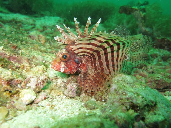 Malapascua Philippines Red Lionfish