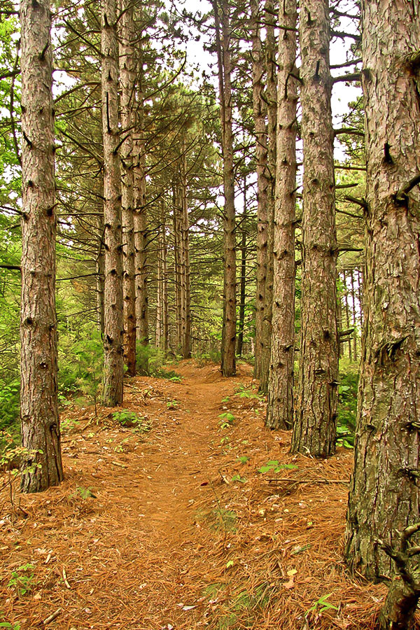 Ice Age Trail pine forest