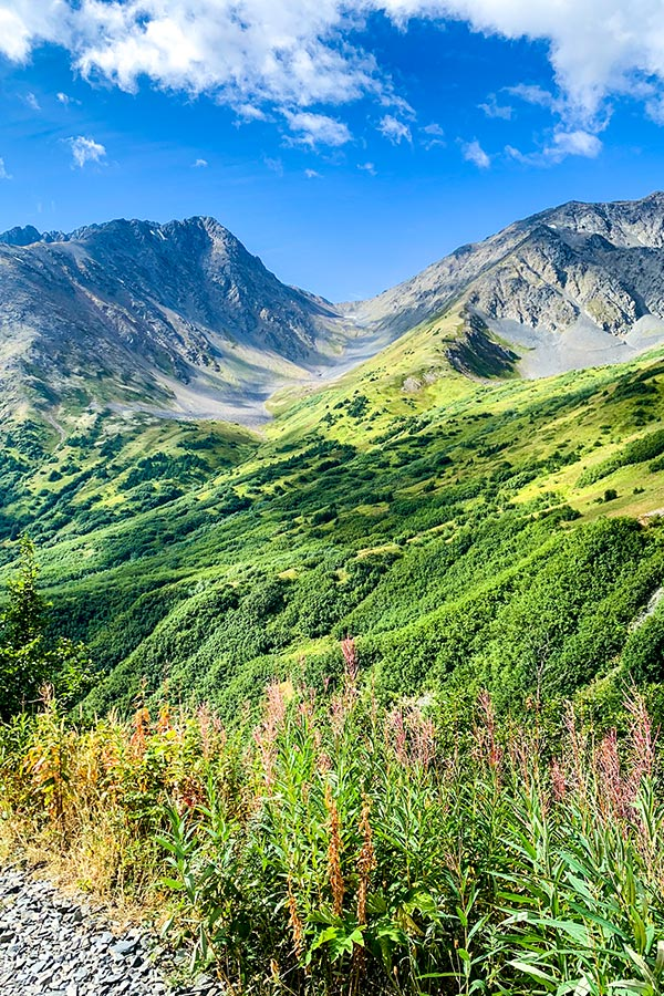 Wildflowers along the trail to Raven Glacier in Chugach State Park Alaska USA