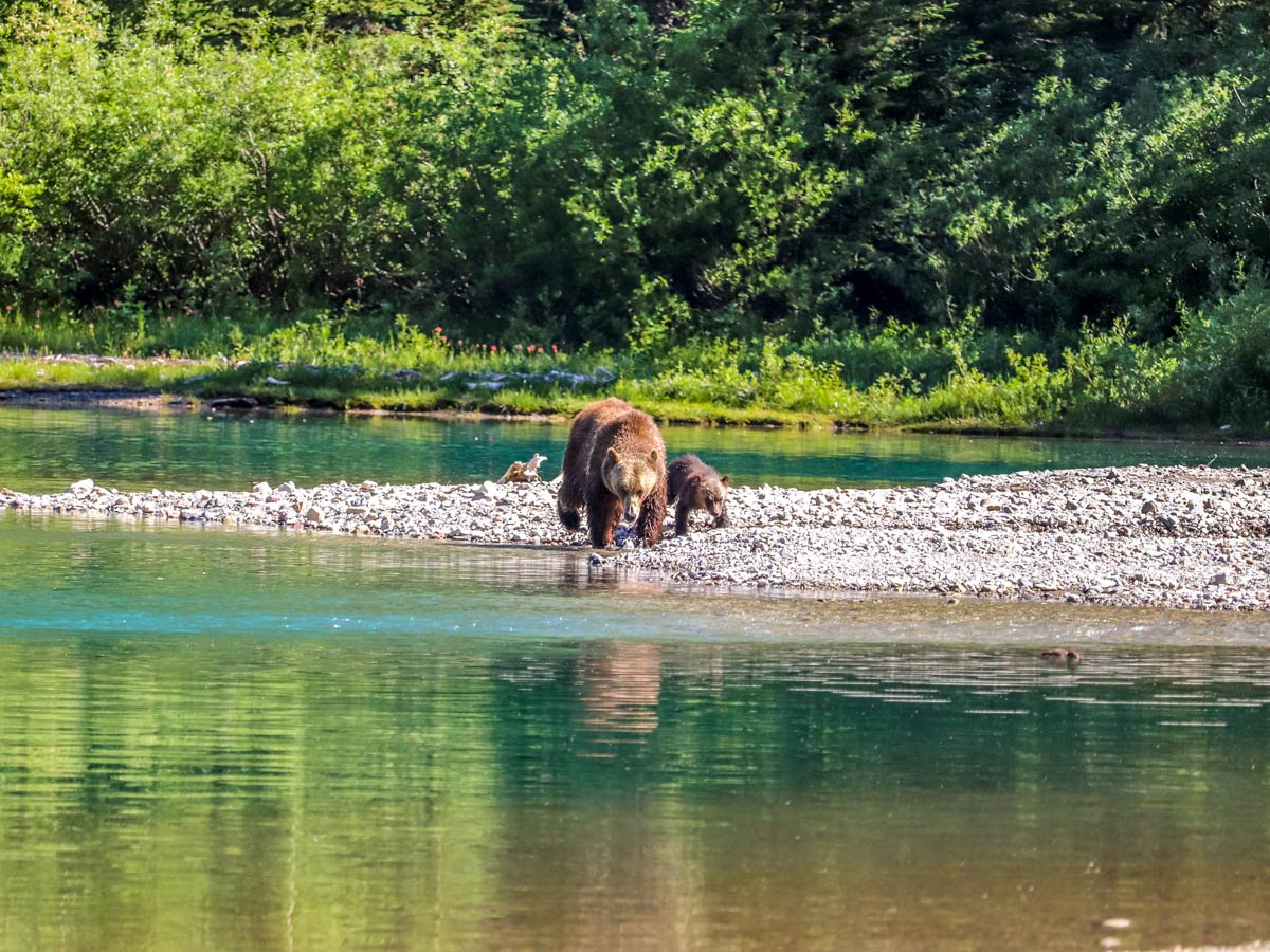 Family of bears hunting on Avalanche Lake hike