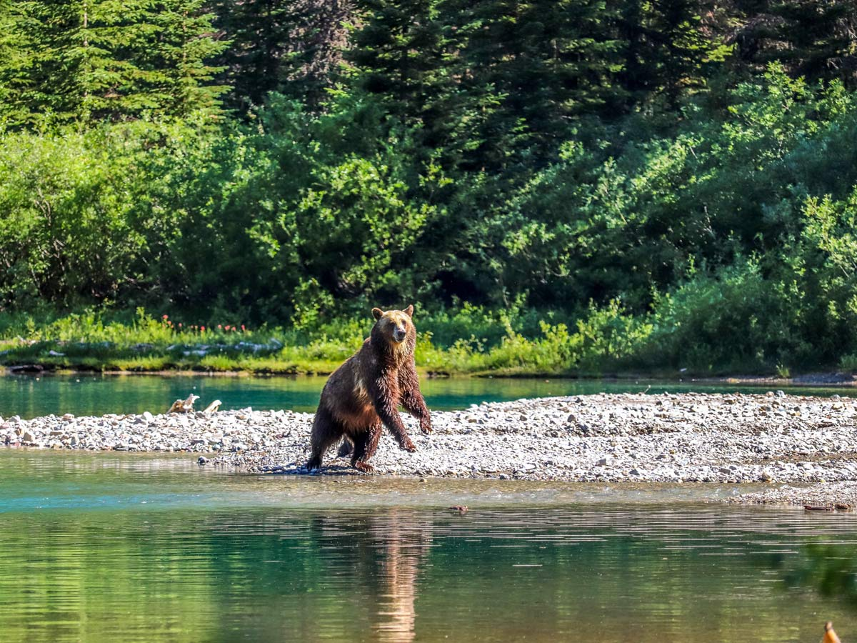 Mama bear playing on the shores of avalanche lake