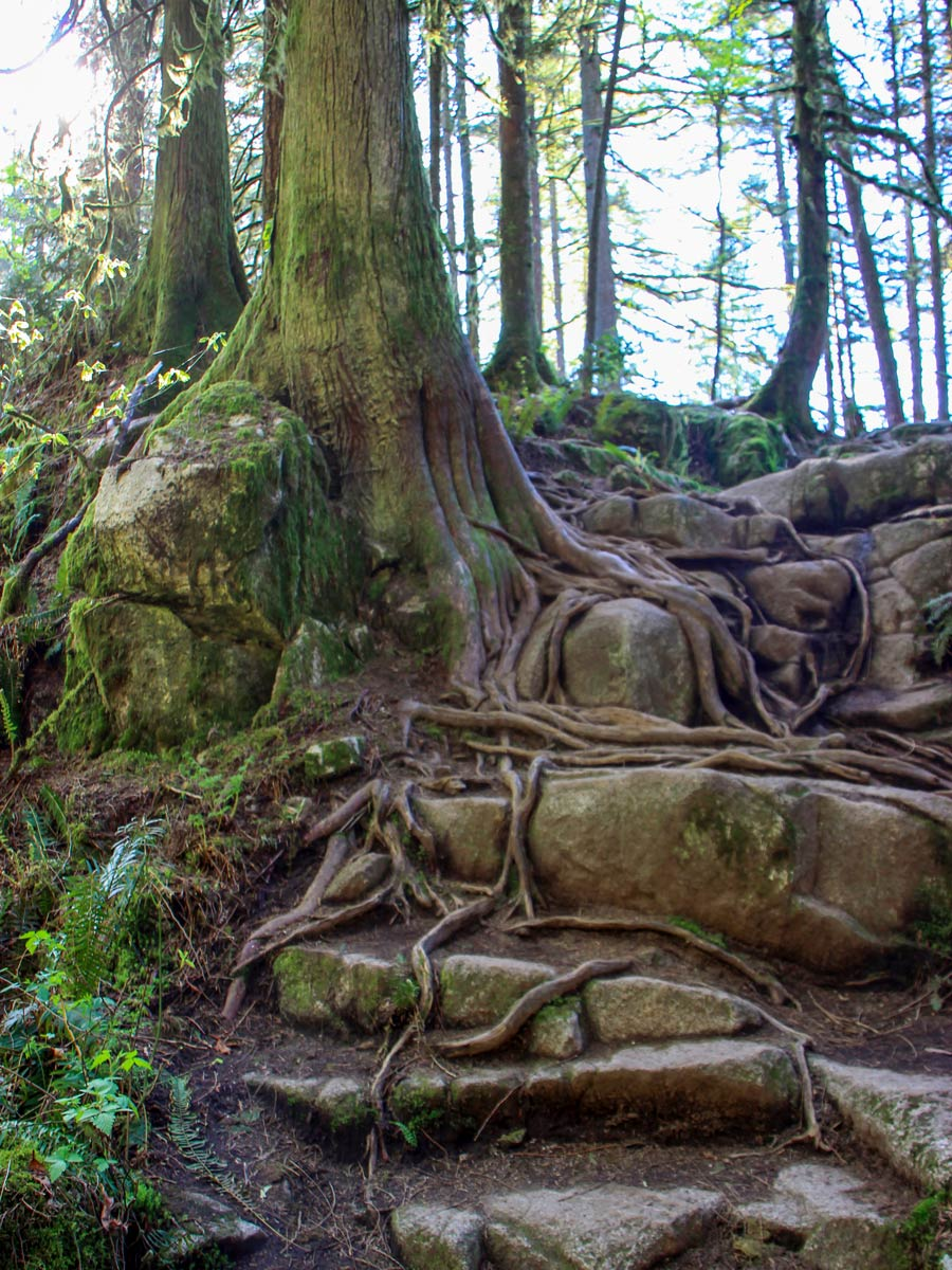Twisting roots in the forest up High Knoll trail east of Vancouver BC