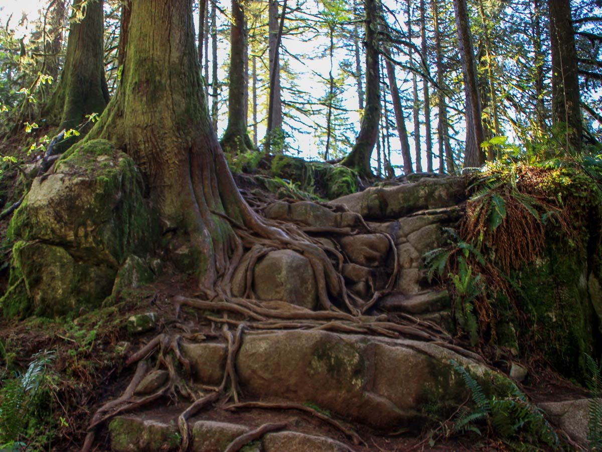 Tree roots grow over rocks on the High Knoll trail through forest near Vancouver