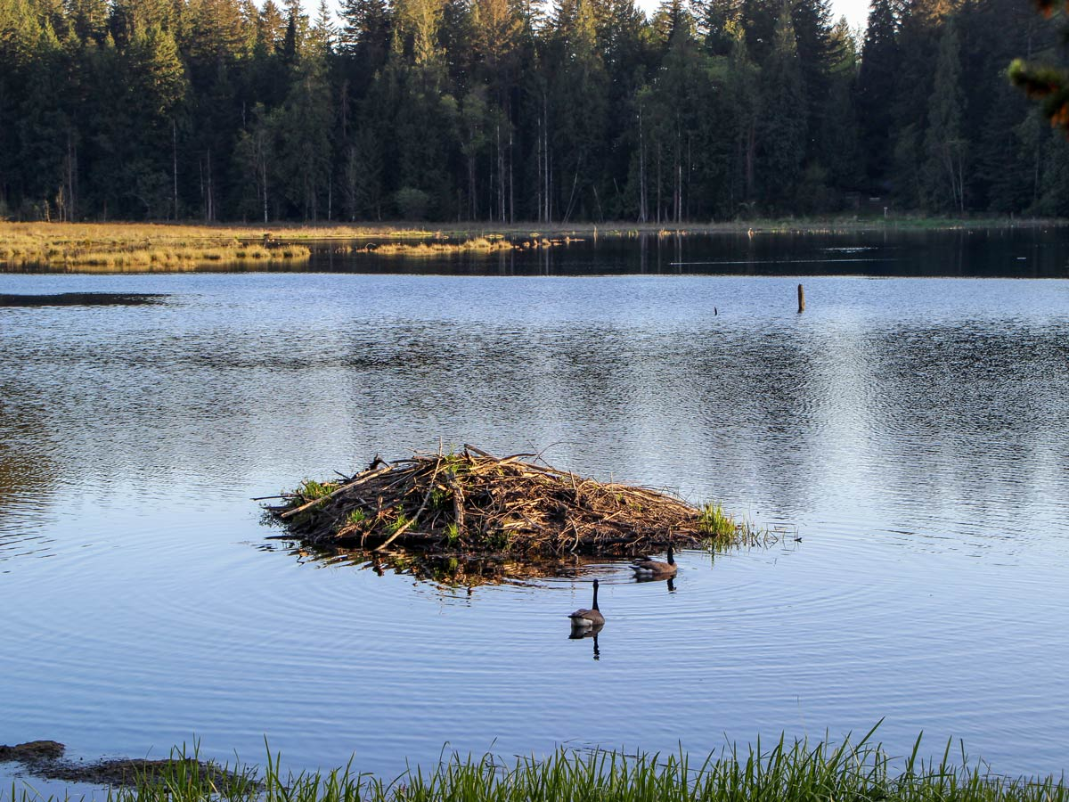 Geese and beaver dam in marsh along High Knoll trail near Vancouver