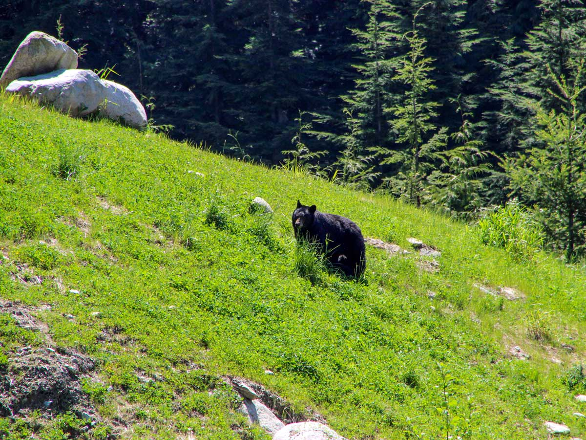 Black bears along the trail to Sawblade Falls east of Vancouver