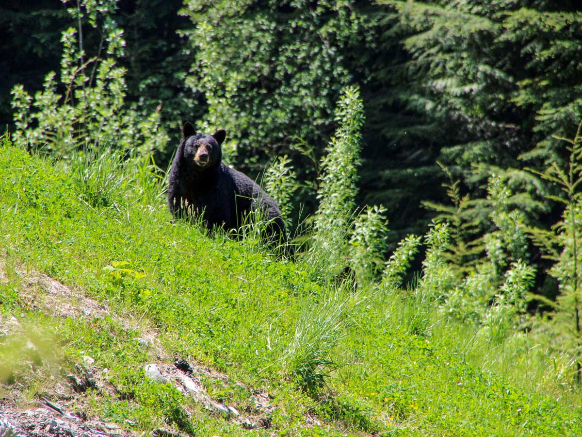 Young Black Bear spotted along Sawblade Falls trail near Vancouver