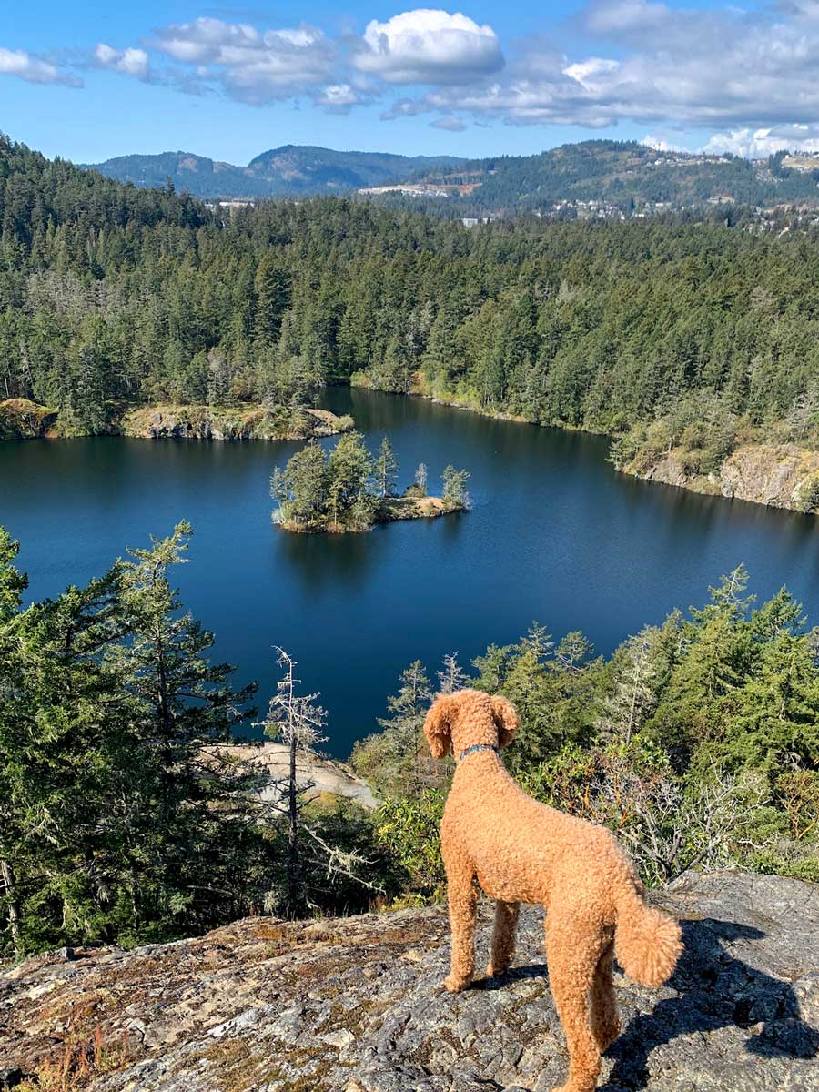 Poodle looking down on the beautiful lake near Victoria BC