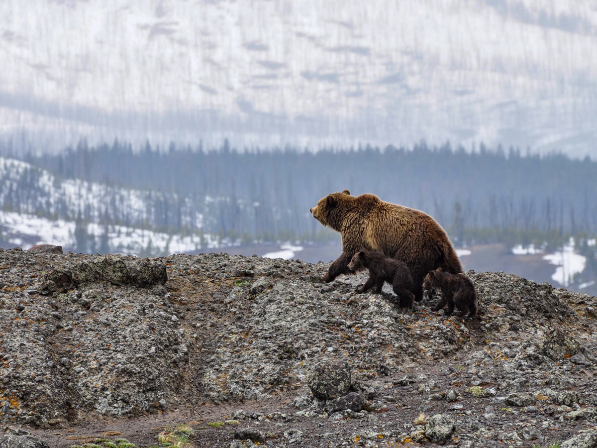 Mama Grizzly bear and cubs spotted in Yellowstone National Park winter