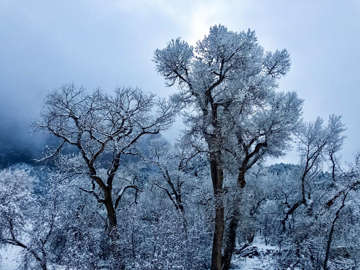Beautiful snow covered trees winter in Zion national park Utah