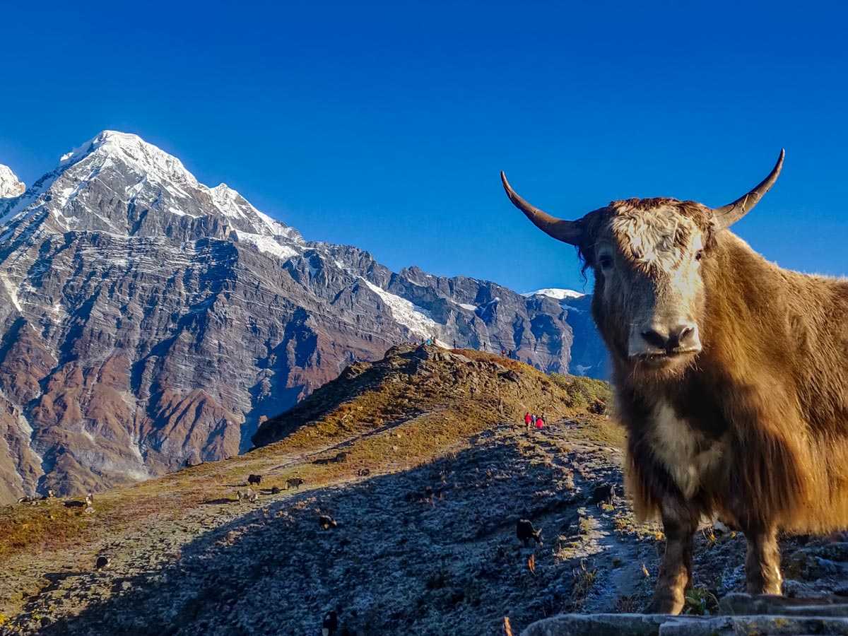 Yak on the way to upper view point mardi base camp Everest Nepal